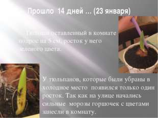 Прошло 14 дней … (23 января) Тюльпан оставленный в комнате подрос на 5 см, р