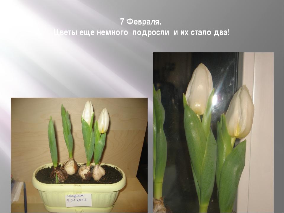 7 Февраля. Цветы еще немного подросли и их стало два!