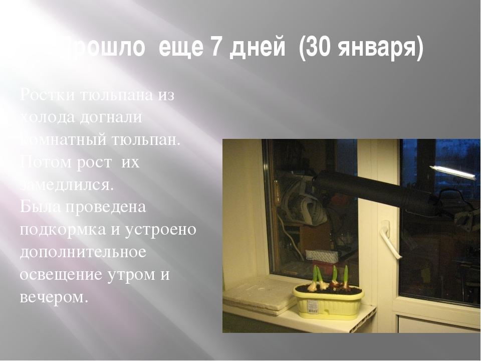 Прошло еще 7 дней (30 января) Ростки тюльпана из холода догнали комнатный тюл...