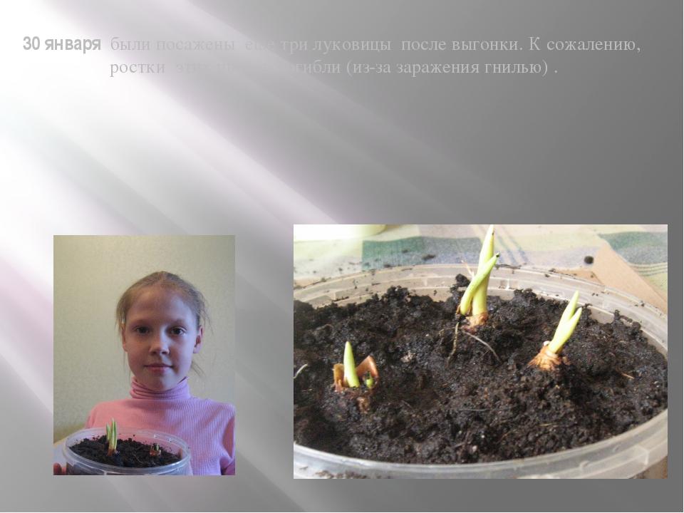 30 января были посажены еще три луковицы после выгонки. К сожалению, ростки э...