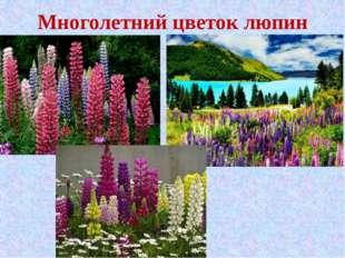 Многолетний цветок люпин