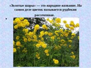 «Золотые шары» — это народное название. На самом деле цветок называется рудбе