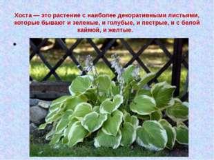 Хоста — это растение с наиболее декоративными листьями, которые бывают и зеле