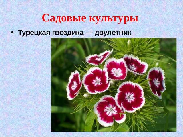 Садовые культуры Турецкая гвоздика — двулетник