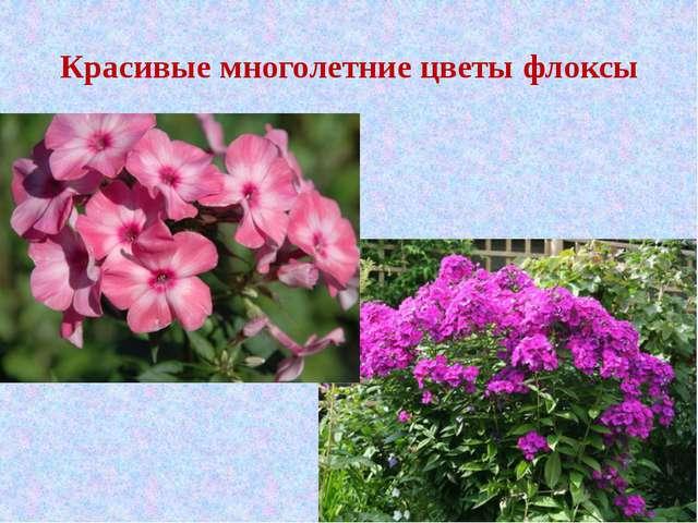 Красивые многолетние цветы флоксы