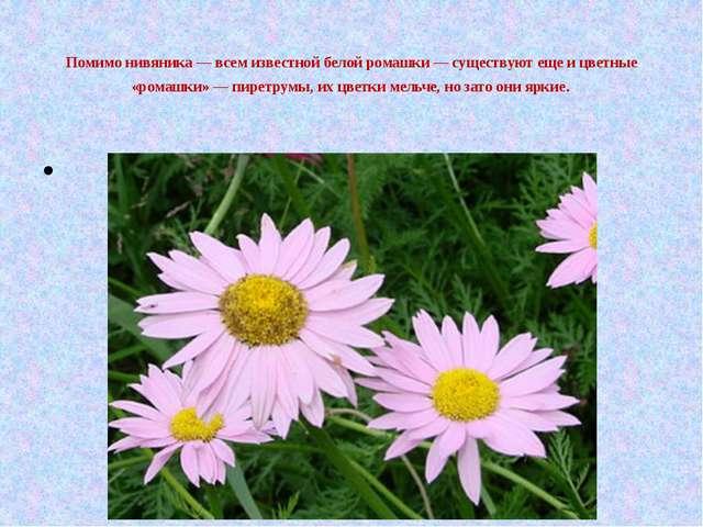 Помимо нивяника — всем известной белой ромашки — существуют еще и цветные «р...
