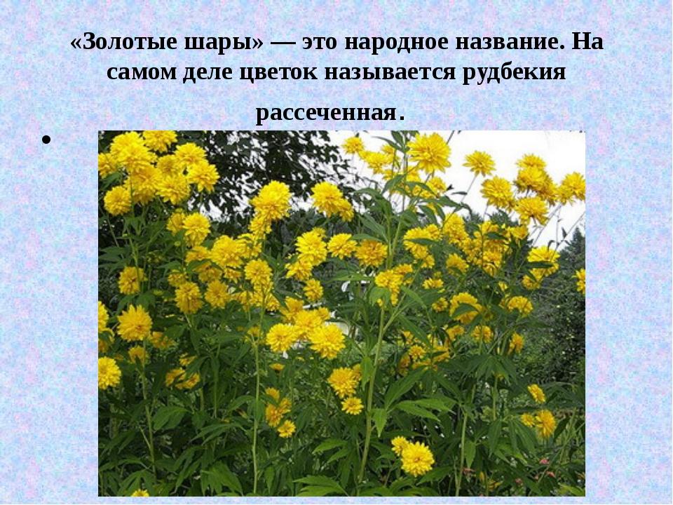«Золотые шары» — это народное название. На самом деле цветок называется рудбе...