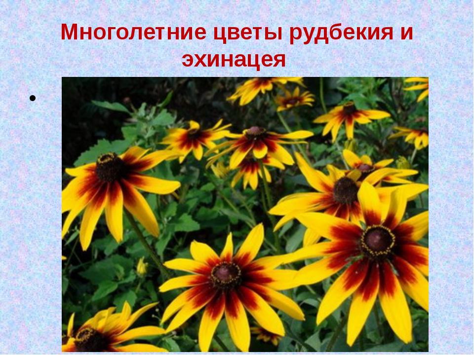 Многолетние цветы рудбекия и эхинацея