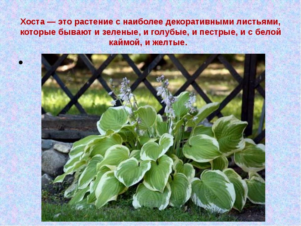 Хоста — это растение с наиболее декоративными листьями, которые бывают и зеле...
