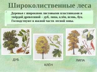 Широколиственные леса Деревья с широкими листовыми пластинками и твёрдой древ