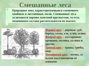 Смешанные леса Природная зона, характеризующаяся смешением хвойных и лиственн