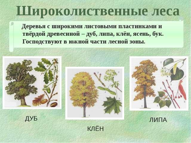 Широколиственные леса Деревья с широкими листовыми пластинками и твёрдой древ...