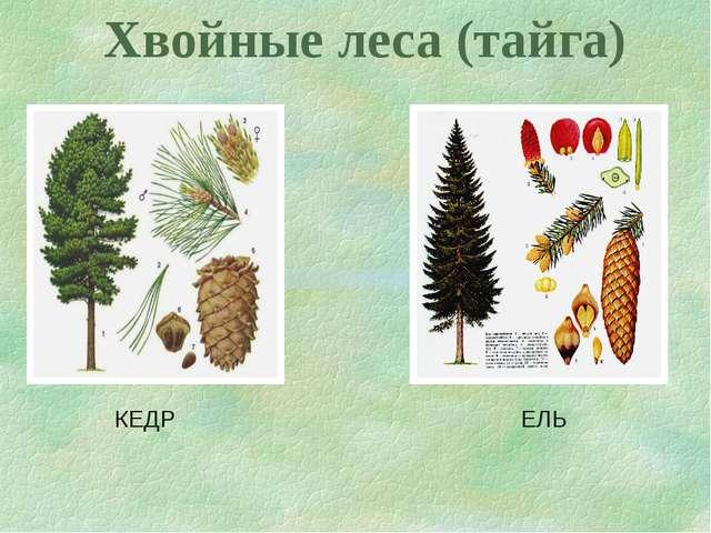 Хвойные леса (тайга) КЕДР ЕЛЬ
