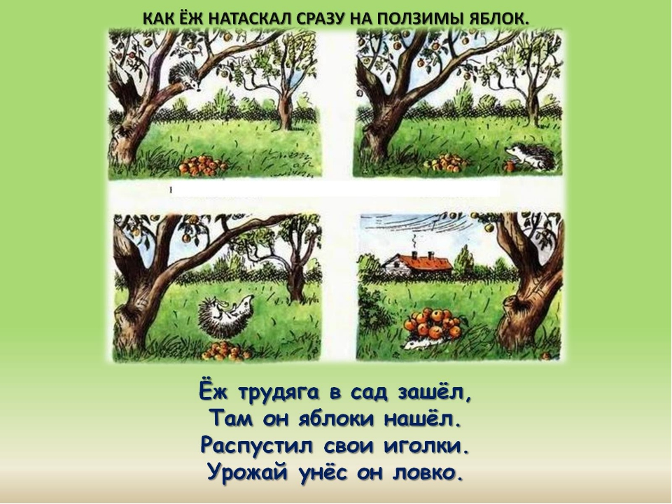 Ёж трудяга в сад зашёл, Там он яблоки нашёл. Распустил свои иголки. Урожай ун...