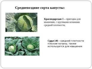 Среднепоздние сорта капусты: Краснодарская 1 – пригодна для квашения, с крупн