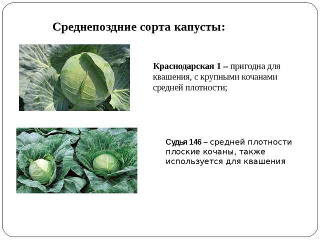 Среднепоздние сорта капусты: Краснодарская 1 – пригодна для квашения, с крупн...