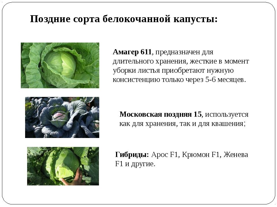 Поздние сорта белокочанной капусты: Амагер 611, предназначен для длительного...