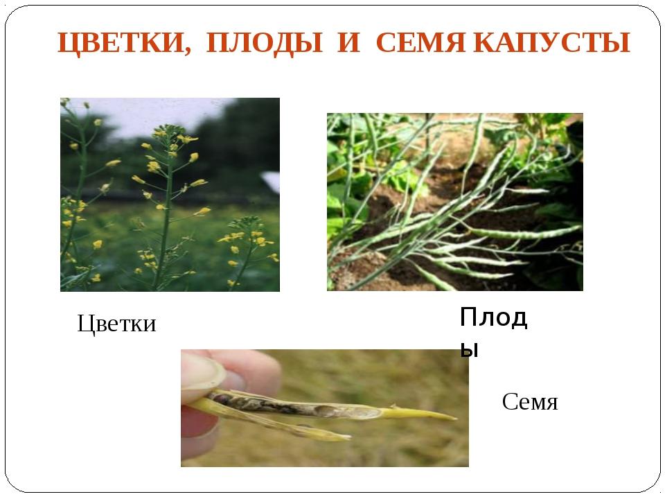 ЦВЕТКИ, ПЛОДЫ И СЕМЯ КАПУСТЫ Цветки Семя Плоды