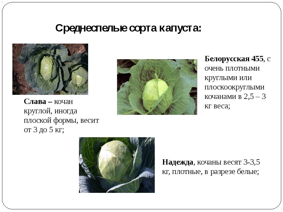 Среднеспелые сорта капуста: Слава – кочан круглой, иногда плоской формы, веси...