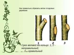 Срез ветвей на кольцо: 1, 2 - неправильный; 3 – правильный Как правильно обре