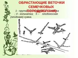 1 - прутик; 2 - копьецо; 3 – плодуха ; 4 - кольчатка; 5 – плодоносная (плодо