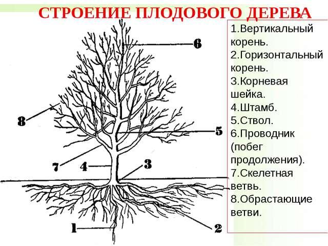 1.Вертикальный корень. 2.Горизонтальный корень. 3.Корневая шейка. 4.Штам...