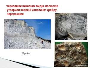 Черепашки викопних видів молюсків утворили корисні копалини: крейду, черепаш