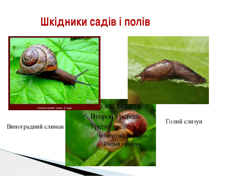 Шкідники садів і полів Голий слизун Виноградний слимак