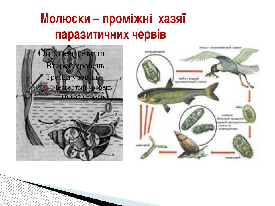 Молюски – проміжні хазяї паразитичних червів
