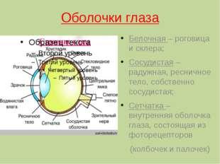 Оболочки глаза Белочная – роговица и склера; Сосудистая – радужная, ресничное