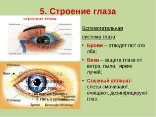 5. Строение глаза Вспомогательная система глаза: Брови – отводят пот ото лба;