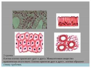 2 группа. Клетки плотно прилегают друг к другу. Межклеточное вещество практич