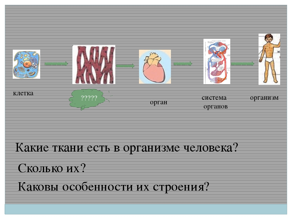 клетка ????? орган система органов организм Какие ткани есть в организме чел...