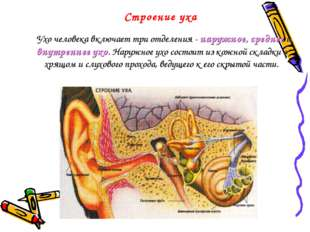 Строение уха  Ухо человека включает три отделения - наружное, среднее и внут