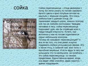 сойка Сойка-пересмешница – птица размером с галку. Ее легко узнать по голове