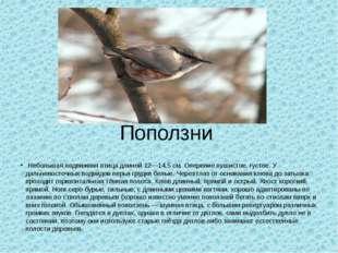 Поползни Небольшая подвижная птица длиной 12—14,5 см. Оперение пушистое, густ