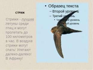 СТРИЖ Стрижи - лучшие летуны среди птиц и могут пролетать до 100 километров в