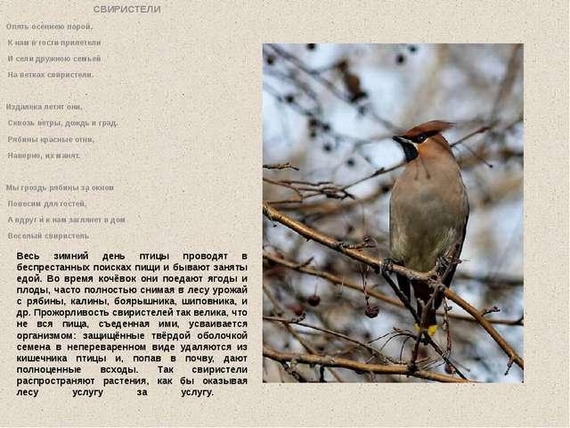 Весь зимний день птицы проводят в беспрестанных поисках пищи и бывают заняты...