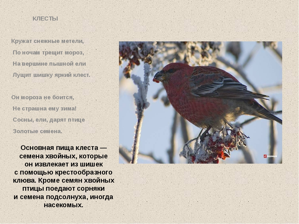 Основная пища клеста— семена хвойных, которые онизвлекает изшишек спомощь...