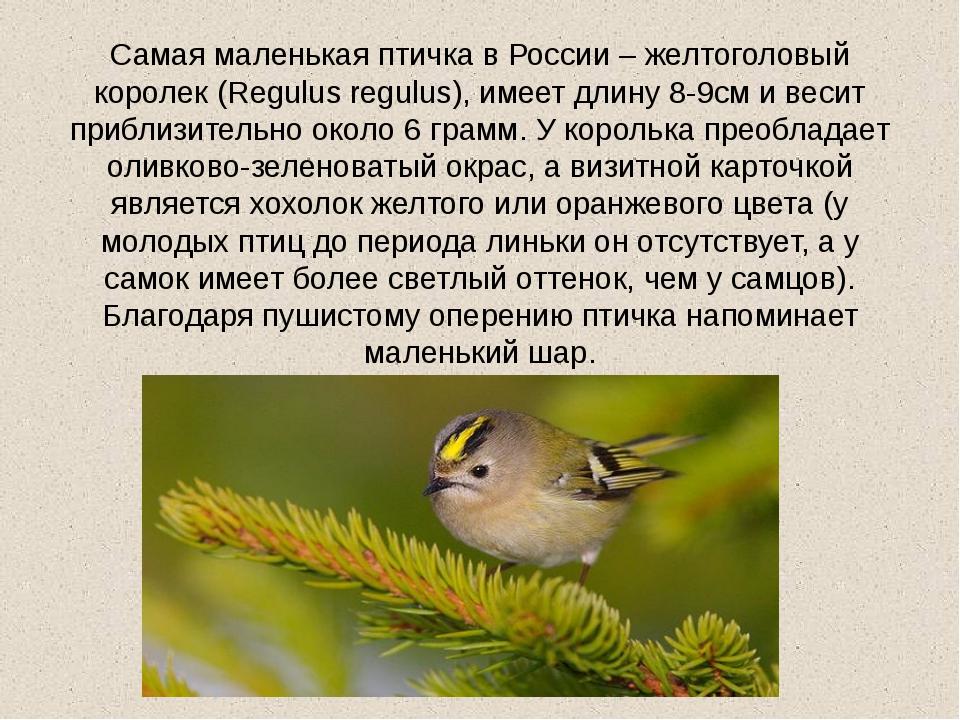 Самая маленькая птичка в России – желтоголовый королек (Regulus regulus), име...