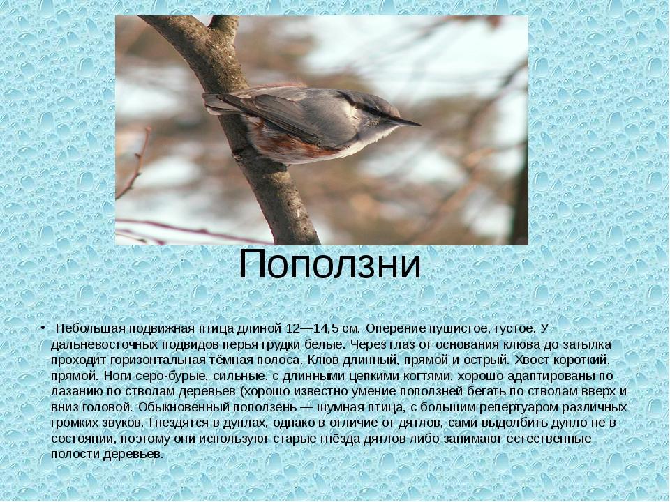 Поползни Небольшая подвижная птица длиной 12—14,5 см. Оперение пушистое, густ...