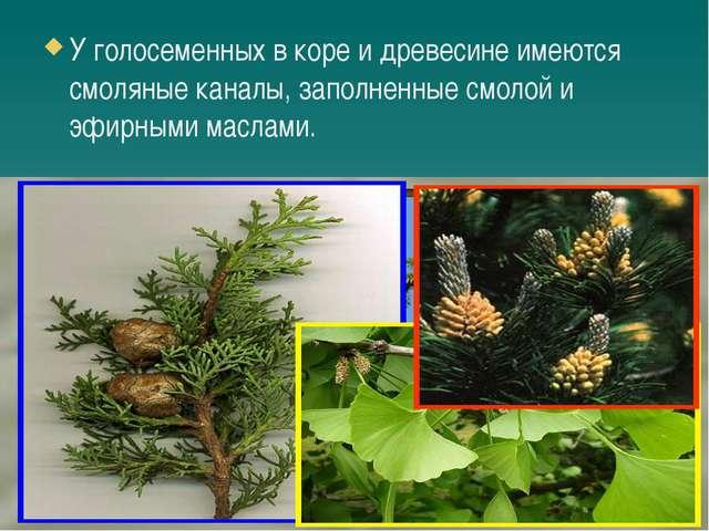 У голосеменных в коре и древесине имеются смоляные каналы, заполненные смоло...