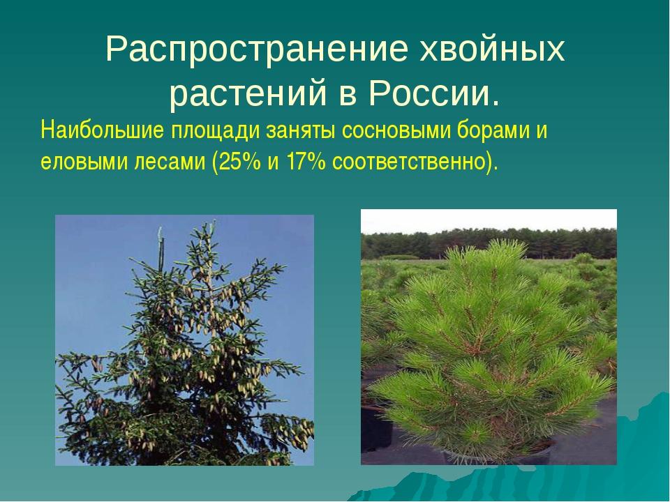 Распространение хвойных растений в России. Наибольшие площади заняты сосновы...