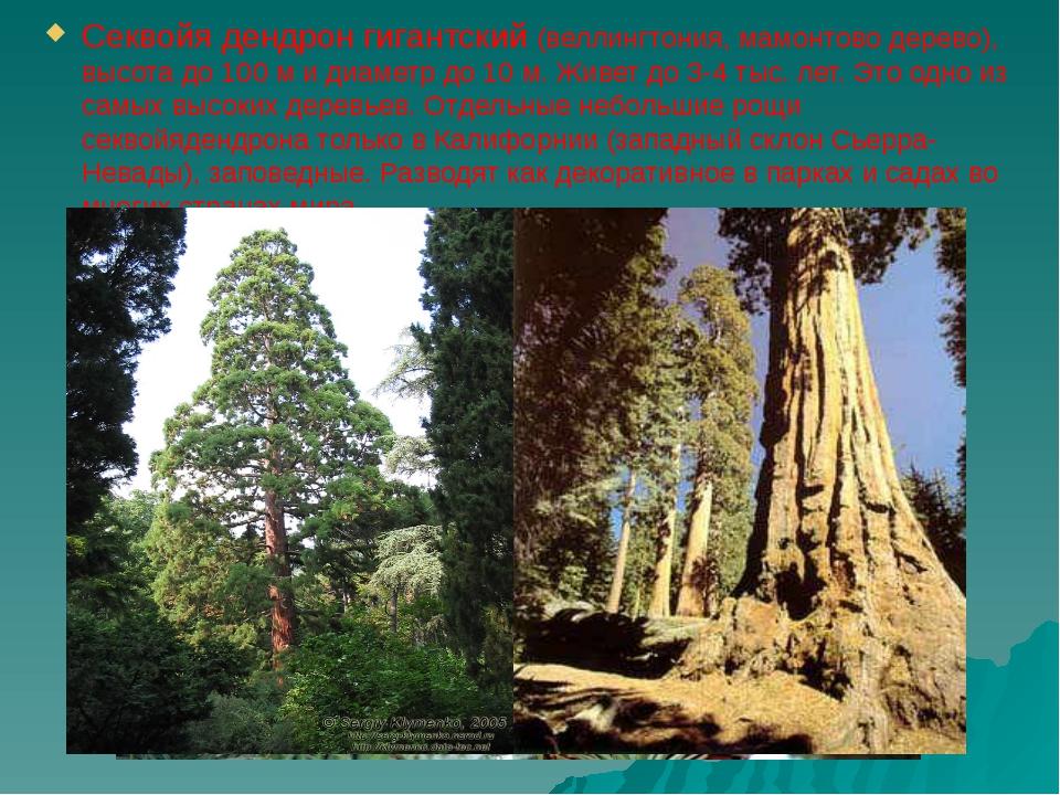 Секвойя дендрон гигантский (веллингтония, мамонтово дерево), высота до 100 м...