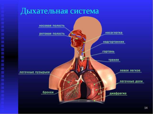 Дыхательная система *