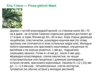 Ель Глена— Picea glehniiMast. Дерево с густой конусовидной кроной, со ствол