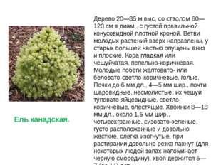 Дерево 20—35 м выc, со стволом 60—120 см в диам., с густой правильной конусов