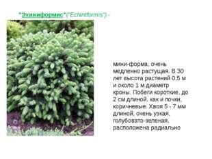 """""""Эхиниформис""""(""""Echintformis"""")- мини-форма, очень медленно растущая. В 30 лет"""