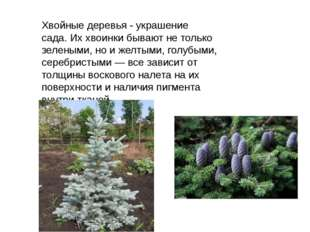 Хвойные деревья - украшение сада.Их хвоинки бывают не только зелеными, но и