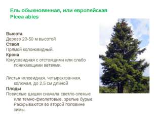 Ель обыкновенная, или европейская Picea abies Высота Дерево 20-50 м высотой С
